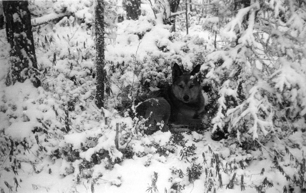 Даже в сильный мороз крупные псы-соболятники удобно устраиваются на отдых под елью
