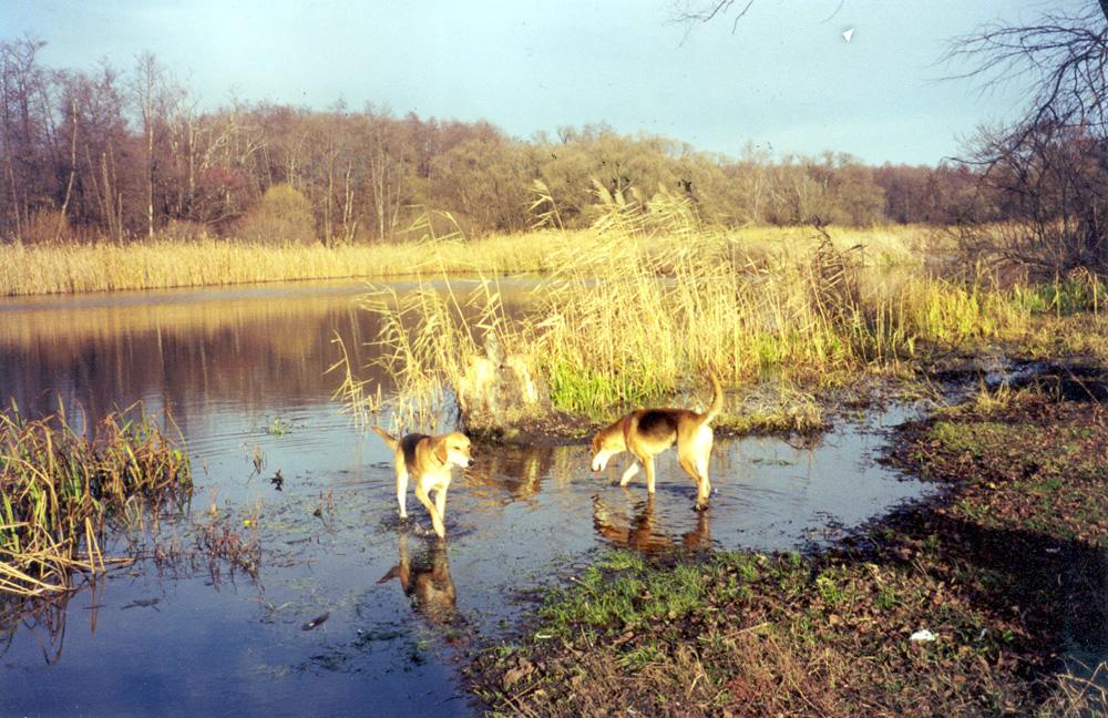 «Выпущенные собаки освобожденно бродили по отмели, шумно лакали воду...»
