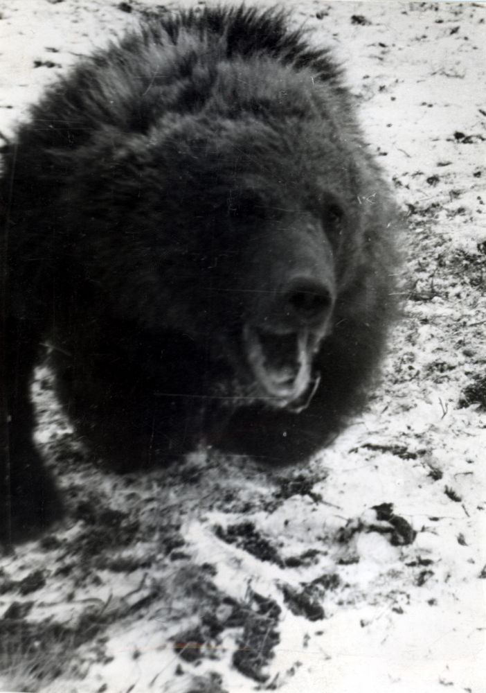 Бурый медведь в погоне за собакой. Фото Ю.П.Язана