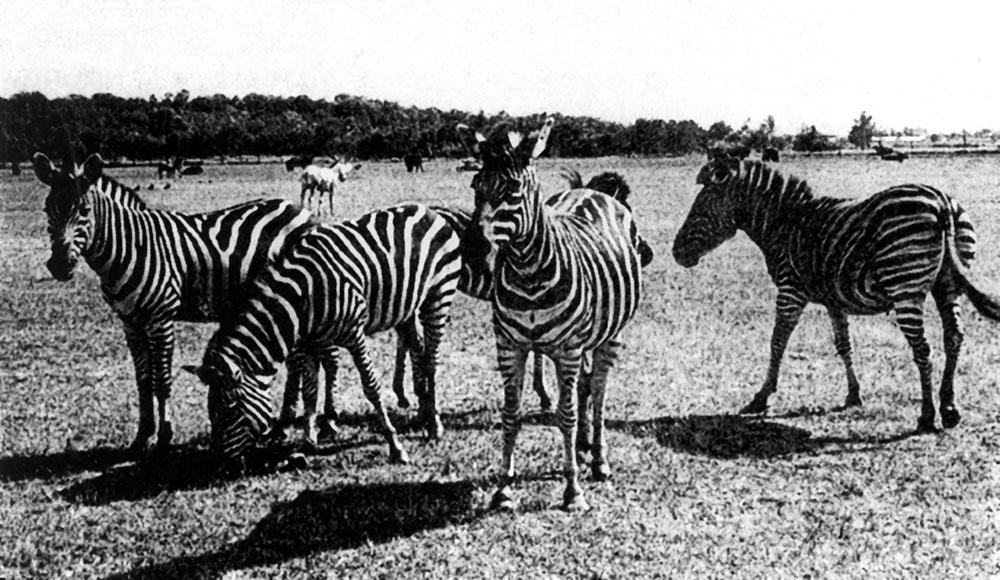 Зебры себя здесь чувствуют, как в Африке