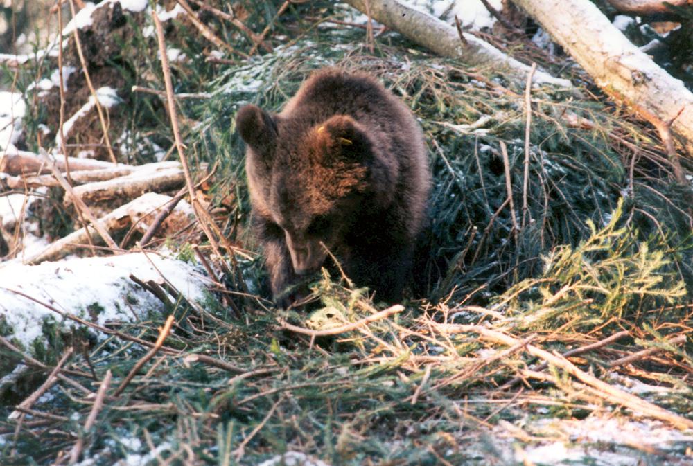 9-месячный медвежонок строит берлогу. Конец ноября, 1998 г.
