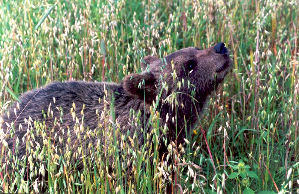 7-месячный медвежонок на овсах. Август, 2000 г.
