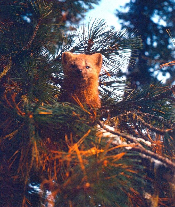 Камчатские медведи вполне миролюбивы. Фото А.М.Нечаева