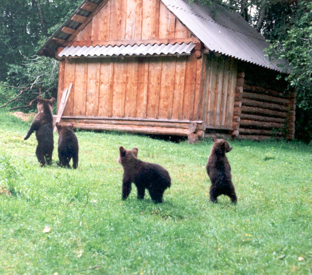 Биостанция. У «домика-берлоги». 5,5-месячные медвежата начинают кормиться ягодой. Июнь, 1998 г.