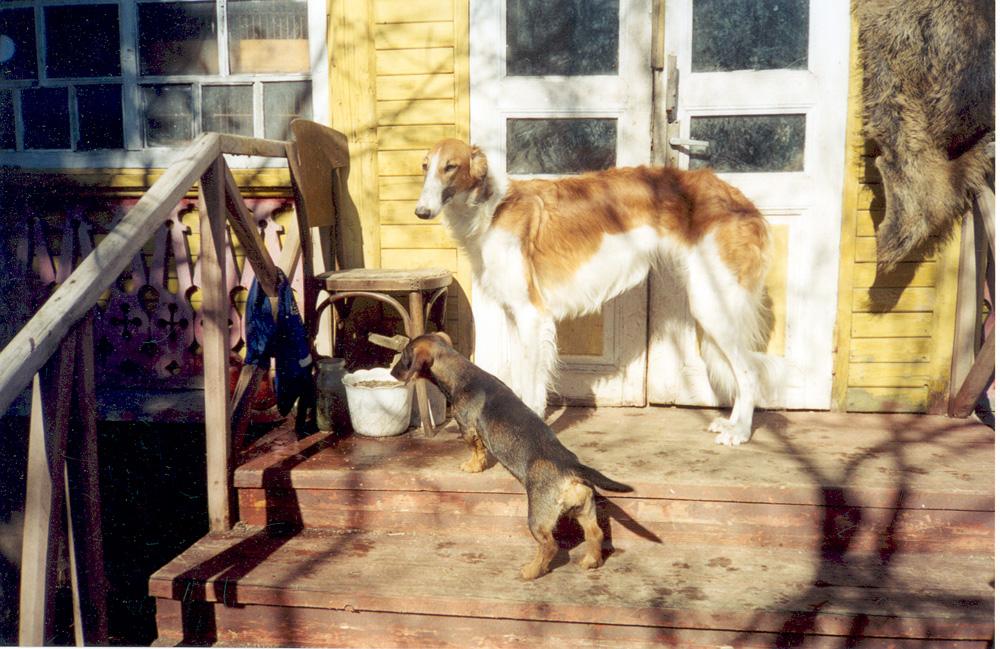 А это еще одни обитатели усадьбы в Салтыковке — русская псовая борзая Поземка и жесткошерстная такса